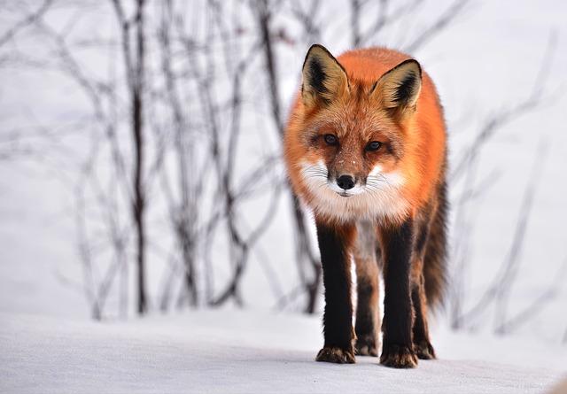 liška